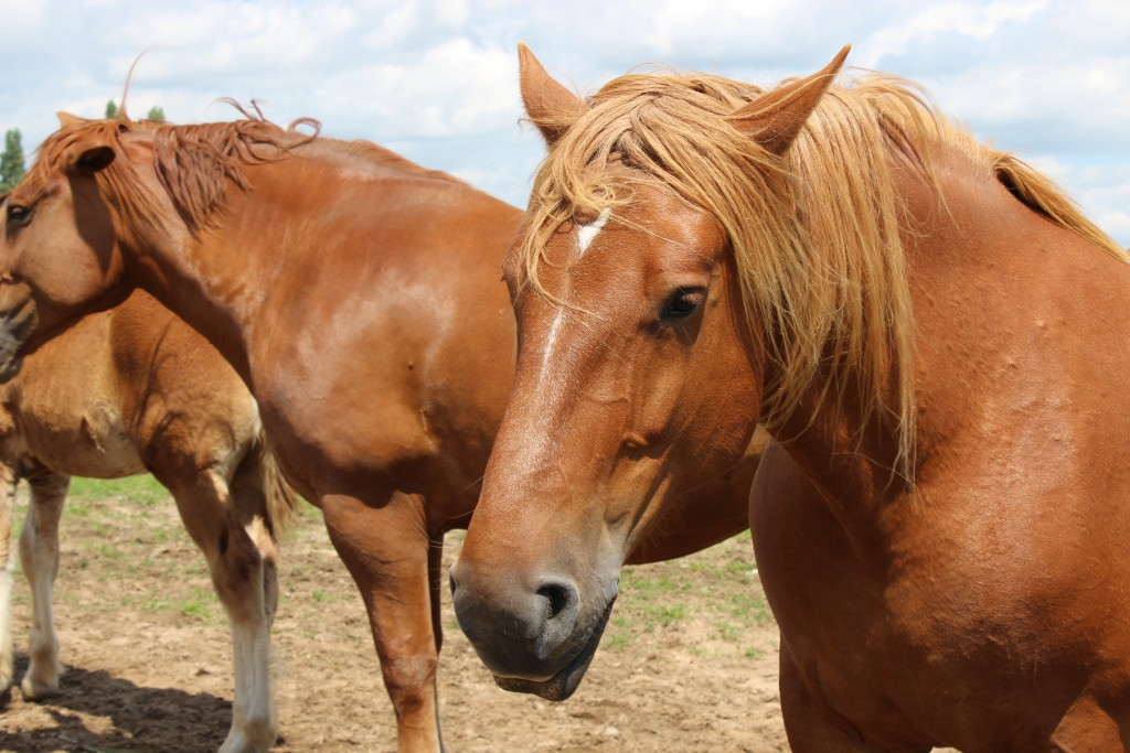 Suffolk Punch Horse