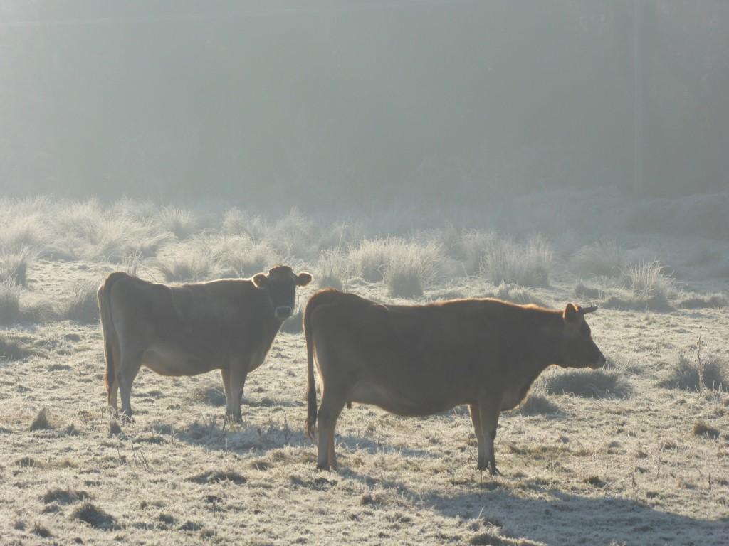 cows in a Suffolk field
