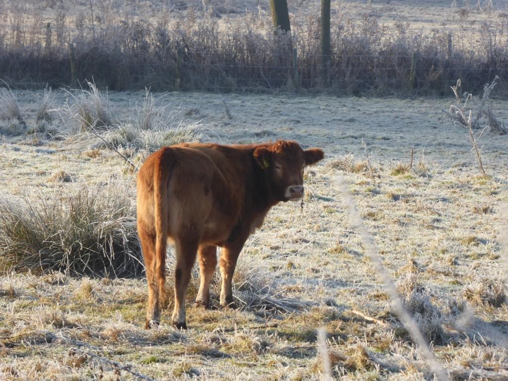 Cow in a Suffolk field
