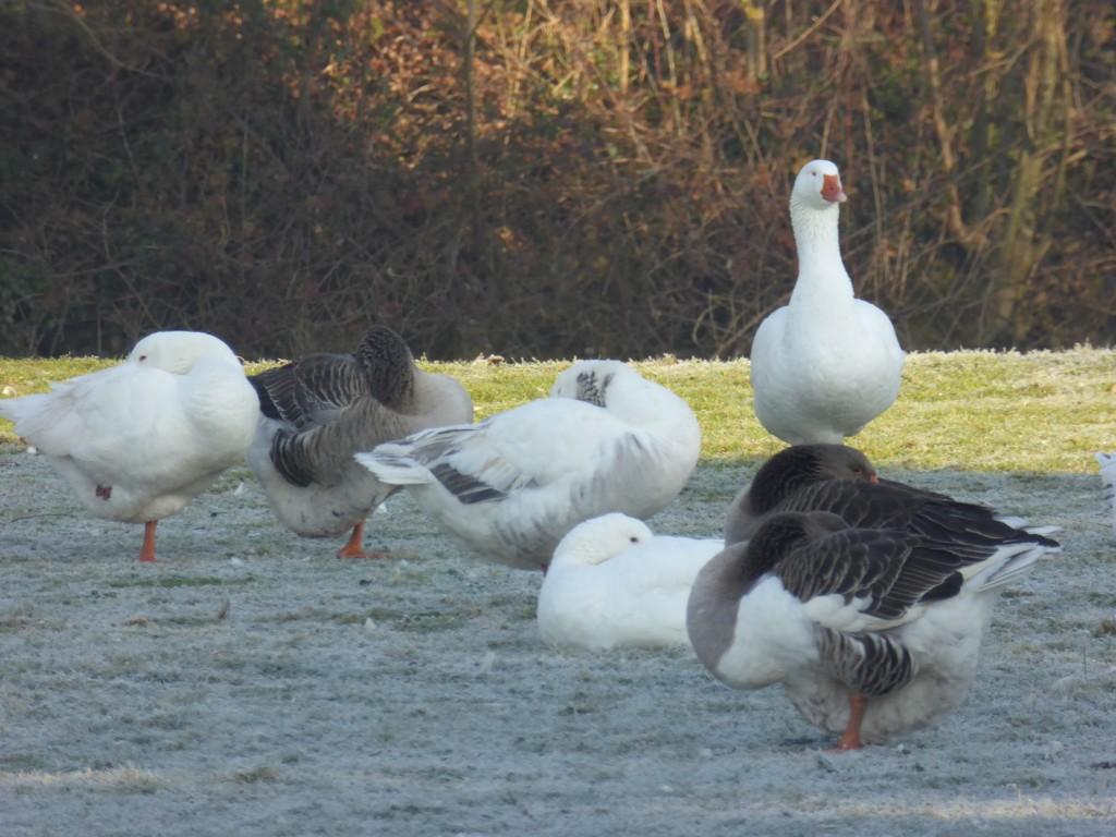 Suffolk geese