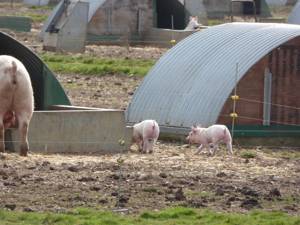 Piglets at Sutton Hoo