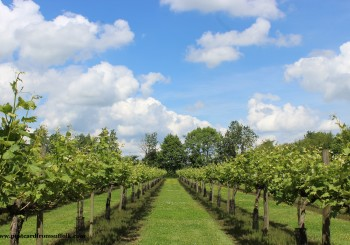 Suffolk vineyard