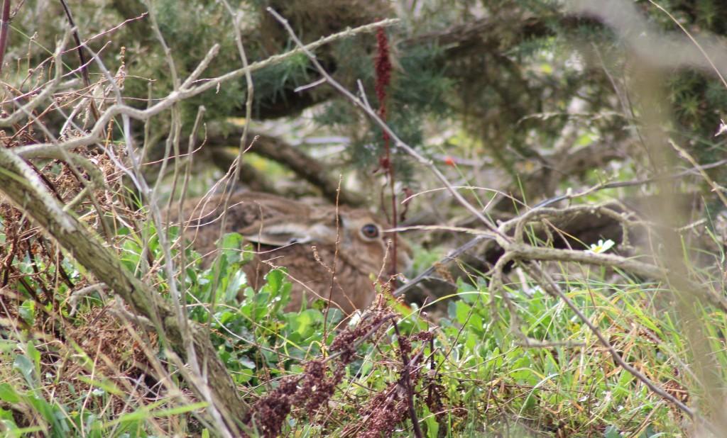 Havergate Island Hare