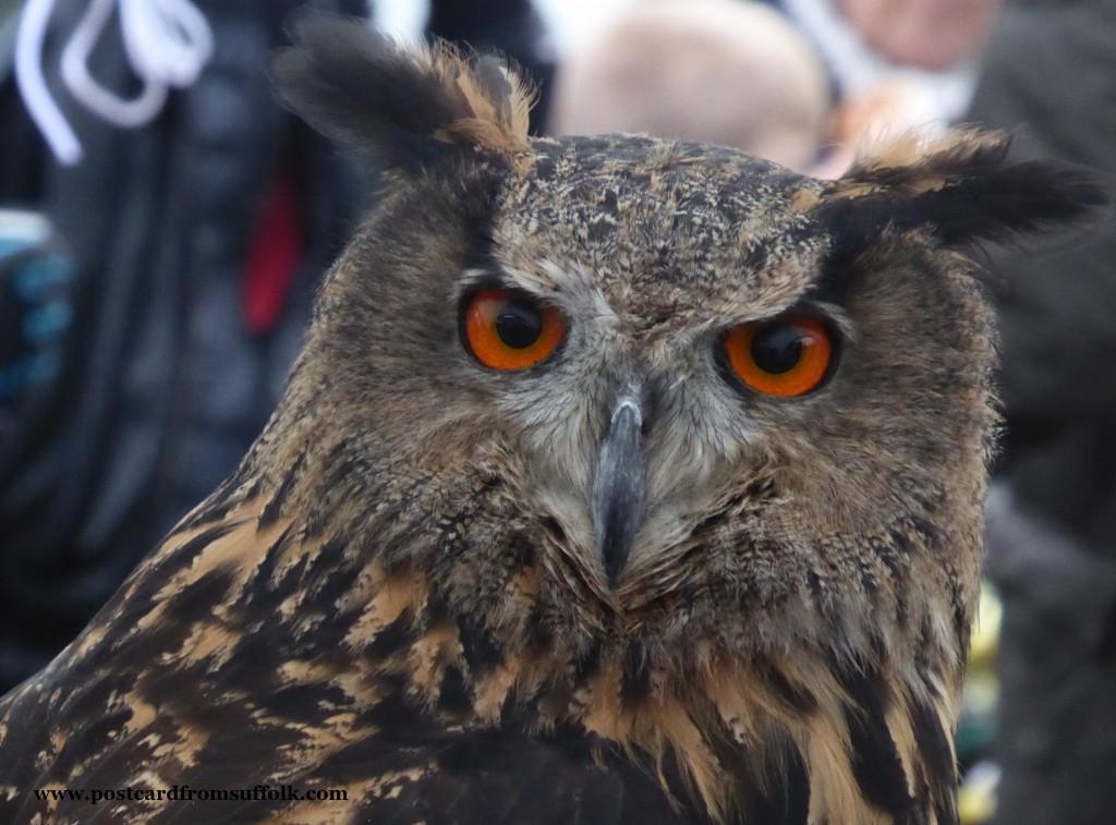 Lavenham Falconry Owl