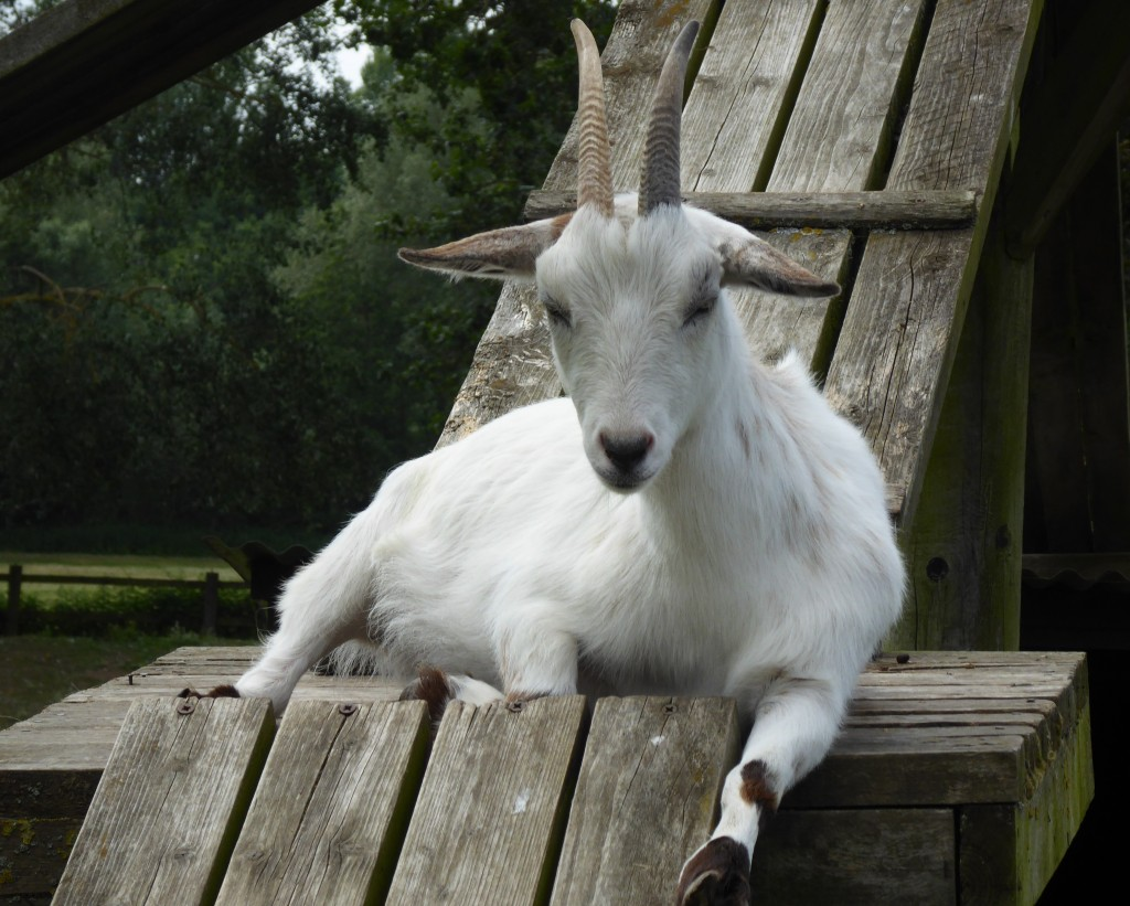 Goat at Easton Farm Park