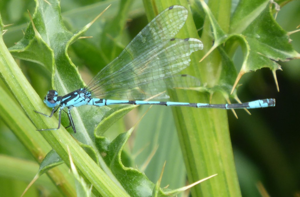 Damselfly at Minsmere