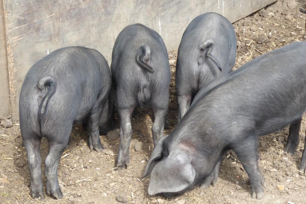 Pigs at Easton Farm Park