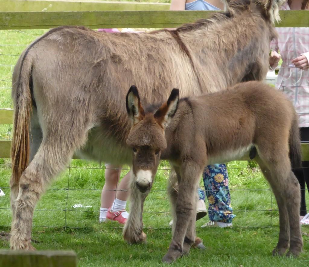 Donkeys at Easton Farm PArk