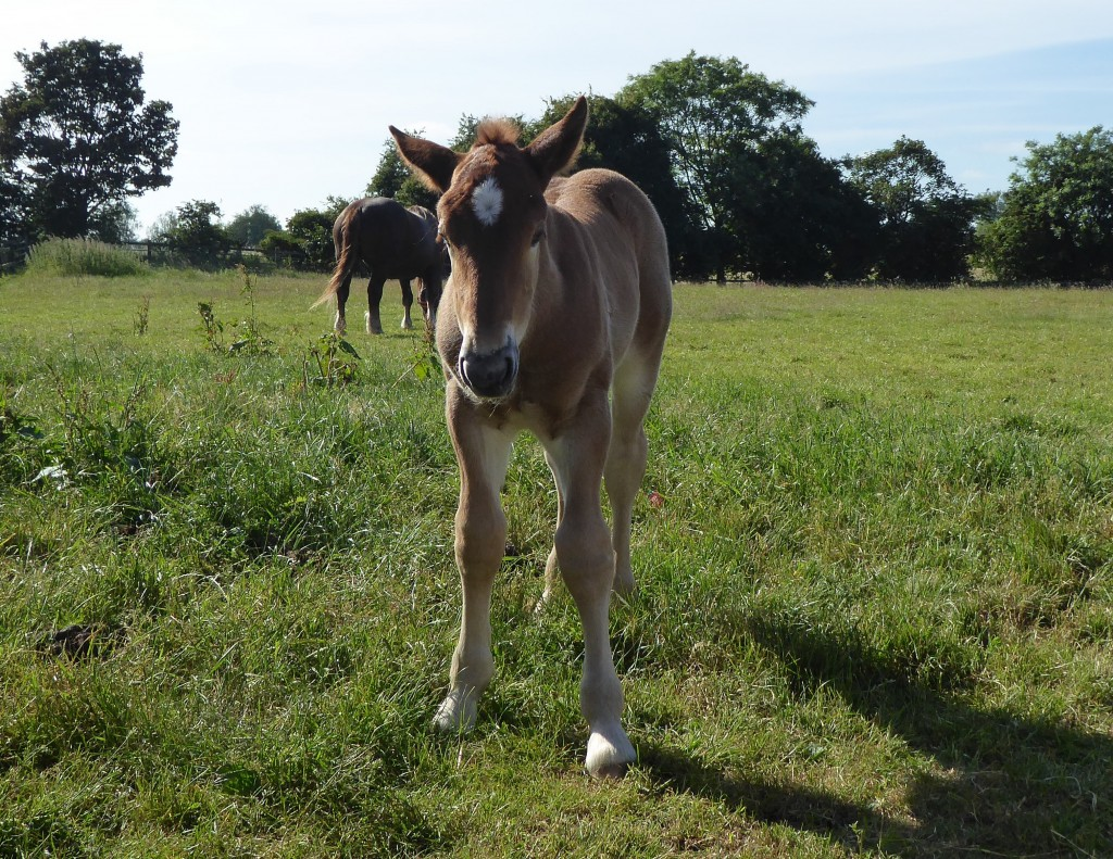 Suffolk punch foal at Easton Farm Park