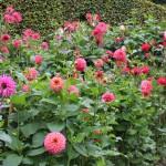 Anglesey Abbey dahlia garden