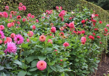 Discovering Dahlias at Anglesey Abbey