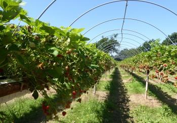 strawberry picking suffolk
